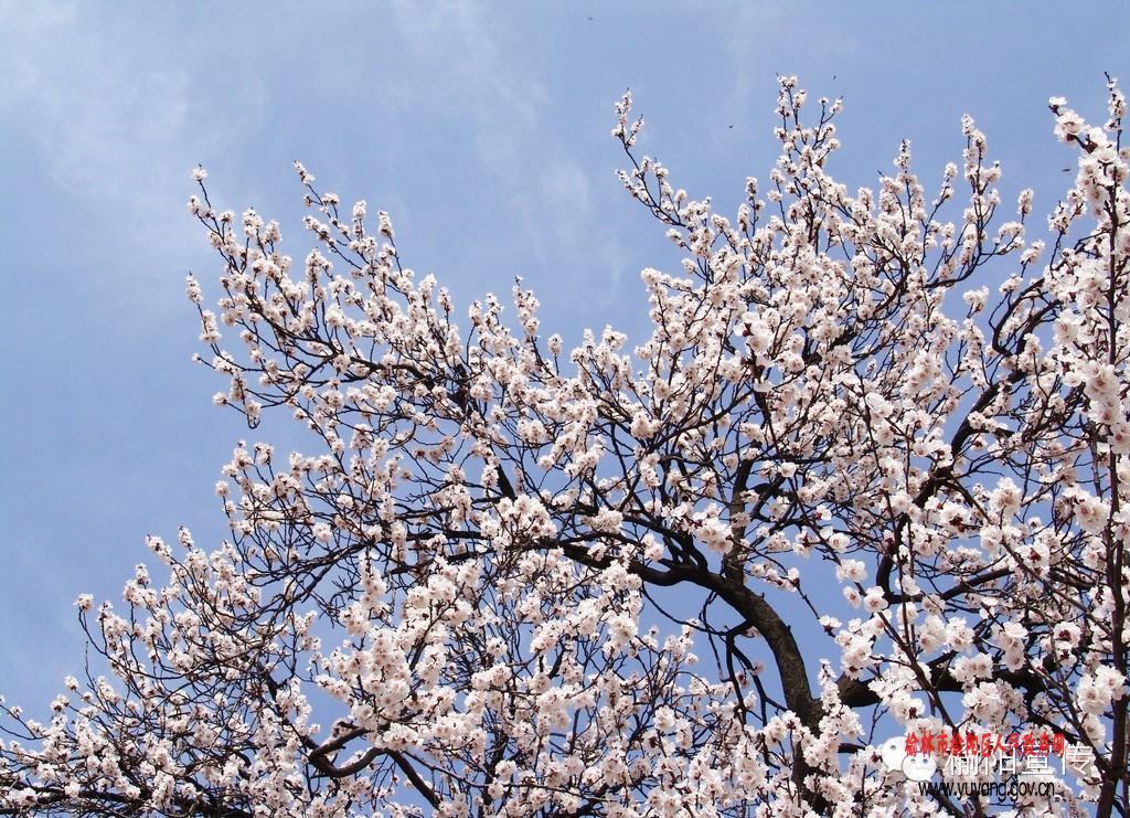 """春回大地,万物复苏,榆阳南部山区大扁杏林已开始打蕾,预计再过三五天,这里十余万亩杏花将进入盛花期。在这里,你可以感受到""""立体赏花""""的意境,既可以在韩家梁山上俯瞰壮观的花海,也可以走进木瓜峁花田置身花丛中体验,还可以驾车沿三余路而行。去年,榆阳杏花因其地域特色显著,农耕文明悠久,产业规模宏大,生态环境优美等特点,获农业部公布中国最美田园名单之""""最美花卉景观""""美誉。该区古塔镇借助这一契机,科学规划,倾力打造这条杏产业旅游线路,力争让城市居民有好去处,让当地农"""